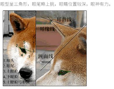 柴犬眼睛形状标准.png