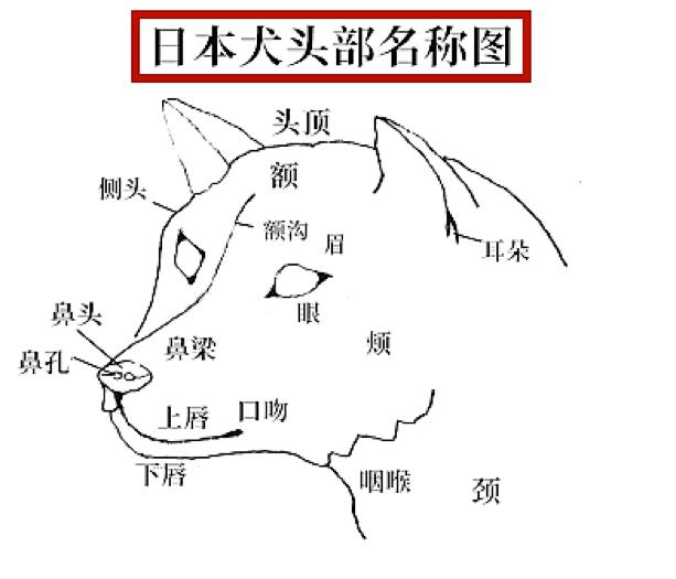 日本犬头部名称图.png