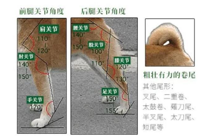 柴犬肘部及四肢的关节角度图1.jpg