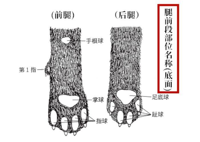 日本犬腿前段部位名称图(底面).jpg